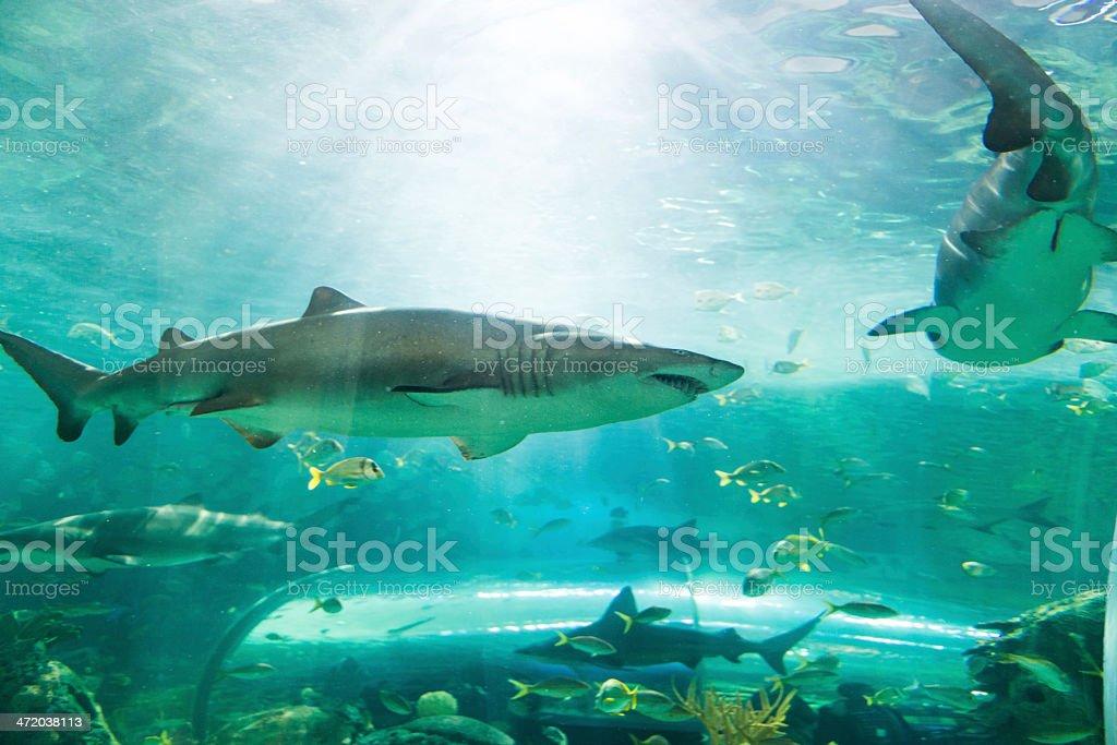 Shark or sharks on its environment royalty-free stock photo