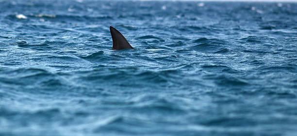 squalo - squalo foto e immagini stock