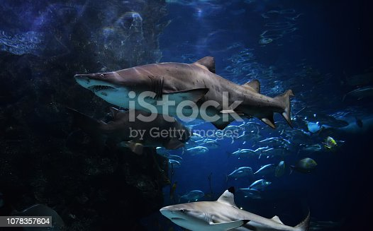 istock shark picture underwater sea arge Ragged Tooth Shark or Sand Tiger Shark 1078357604