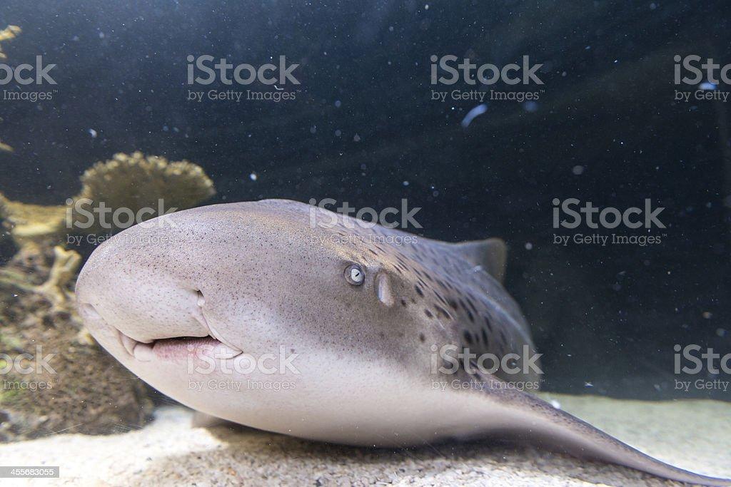 Shark resting on the sea bottom royalty-free stock photo