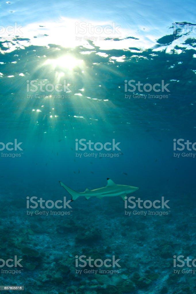 shark sunburst stock photo