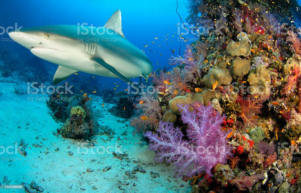 Shark swimming around reef with many smaller fish stock photo