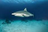 Reef shark swimming on the ocean floor.