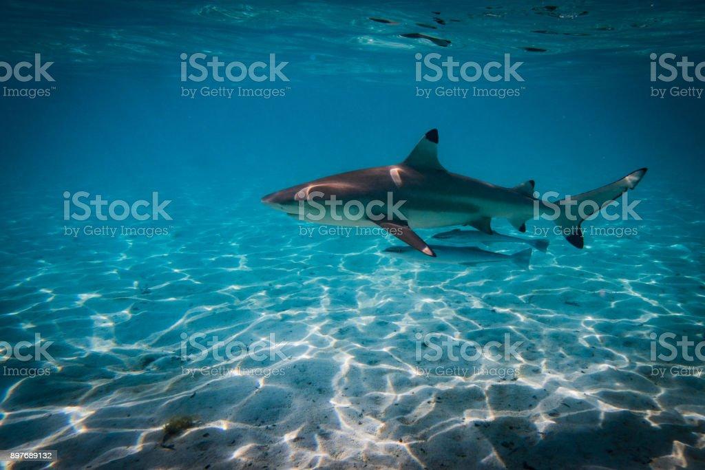 Shark swimms through the lagoon of bora bora stock photo