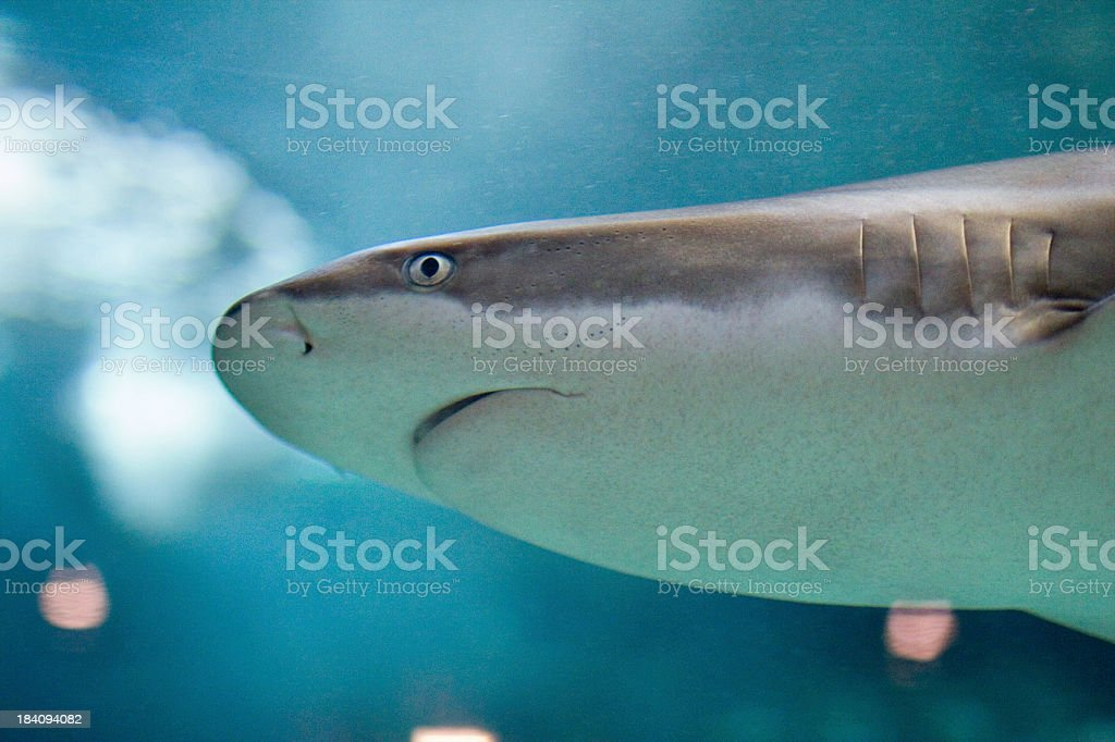 "Shark up close ""Shark swimming by, up close."" Animal Stock Photo"