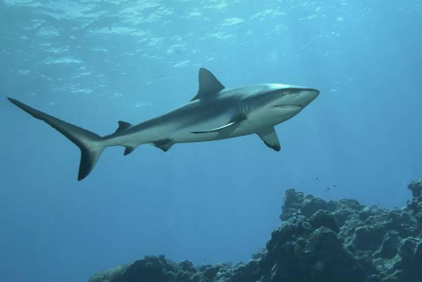 Ein Hai beobachtet die Unterwasserfotografin in einem Korallenriff auf Yap – Foto