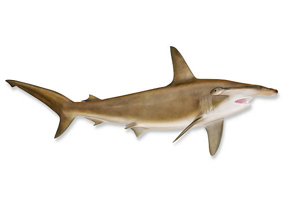 Shark with Clipping Path Huge Hammerhead Shark isolated on white with drop shadow and clipping path included. dorsal fin stock pictures, royalty-free photos & images