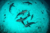 Above view of reef sharks while swimming in turquoise ocean water.