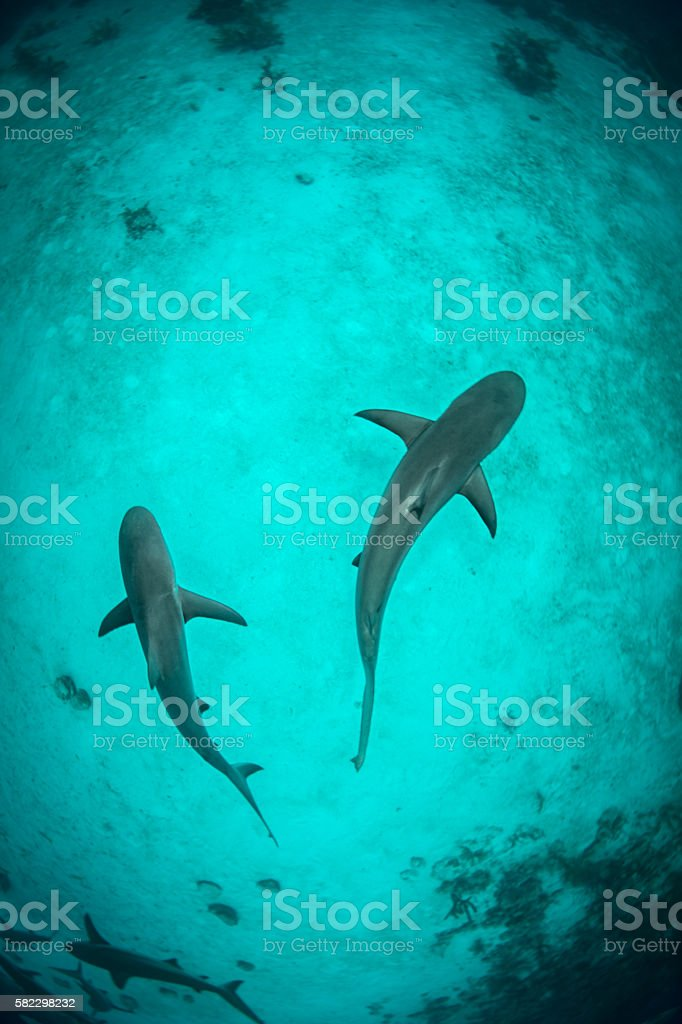 Sharks swimming in the ocean stock photo