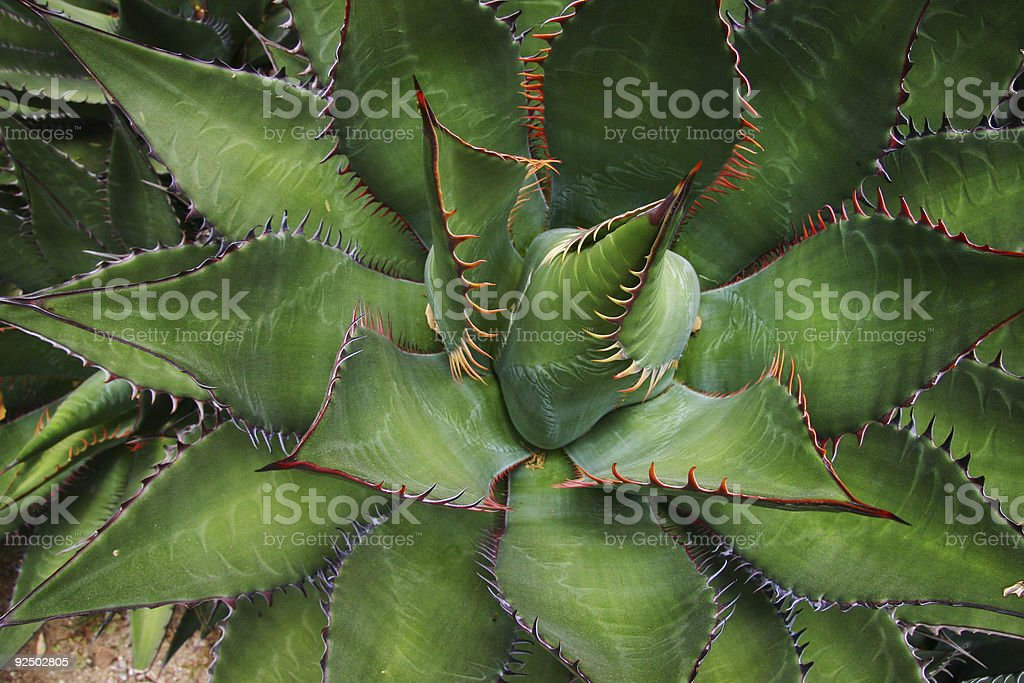 Sharp Aloe royalty-free stock photo