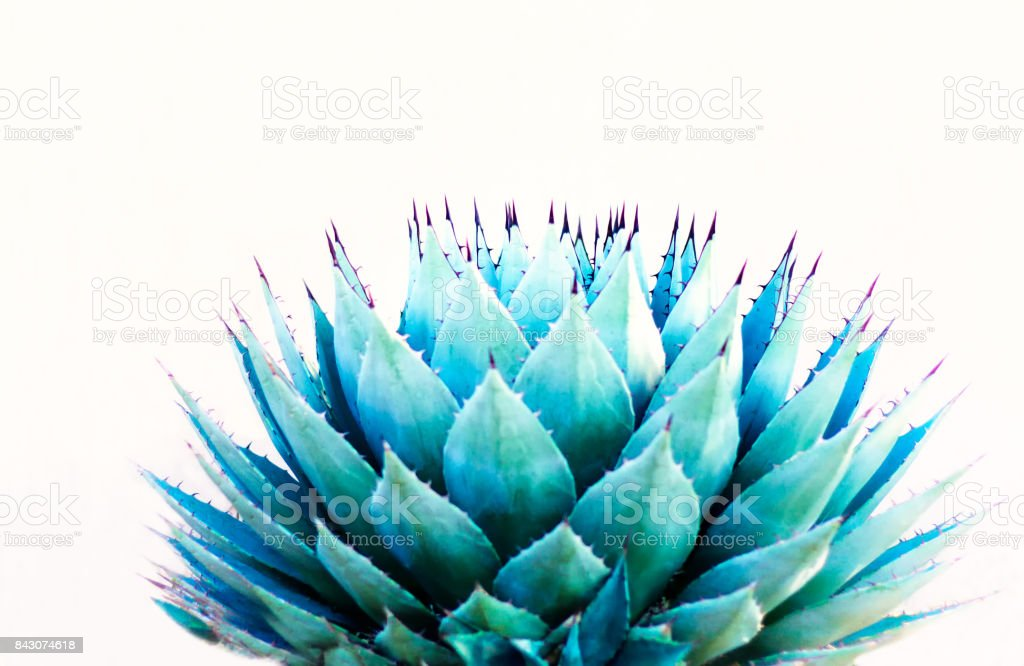 Sharp Leaves of Agave (American Aloe) Plant; White Background stock photo