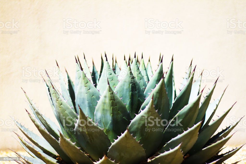 Sharp Leaves of Blue Agave (American Aloe) Plant, Morning Light stock photo