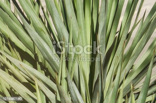 Sharp leaves of an evergreen plant of Jukka in tropical climate