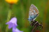 Macro shot of common blue butterfly (Polyommatus Icarus) on a dry twig in foreground. Defocused background with bluebell flower and some grass.