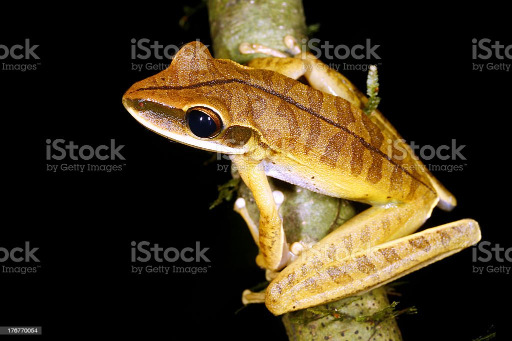 Sharp nosed treefrog (Hypsiboas lanciformis) stock photo