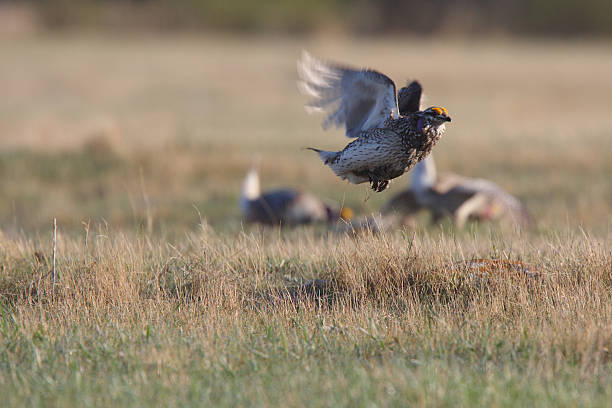 Sharp tailed Grouse at lek finding dominate male stock photo