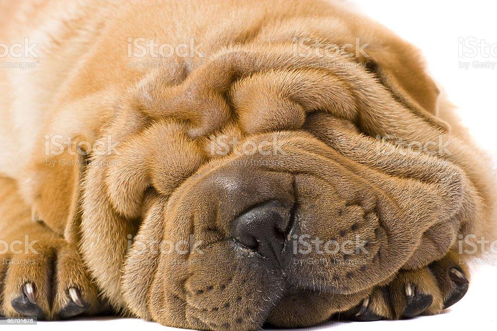 sharpei dog royalty-free stock photo