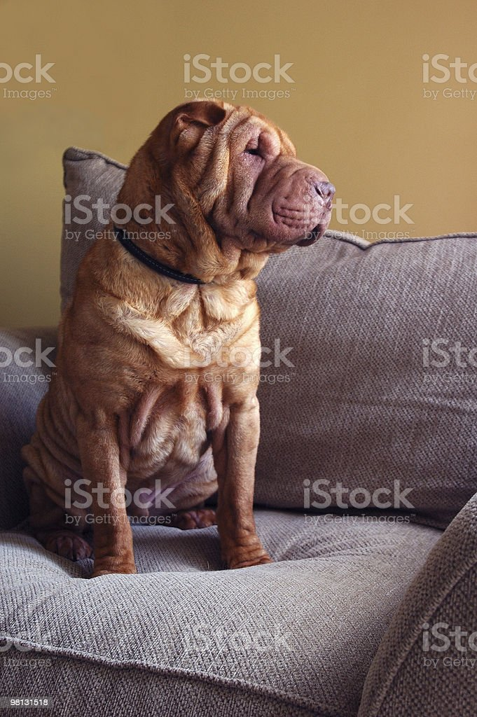 Shar-Pei in poltrona foto stock royalty-free