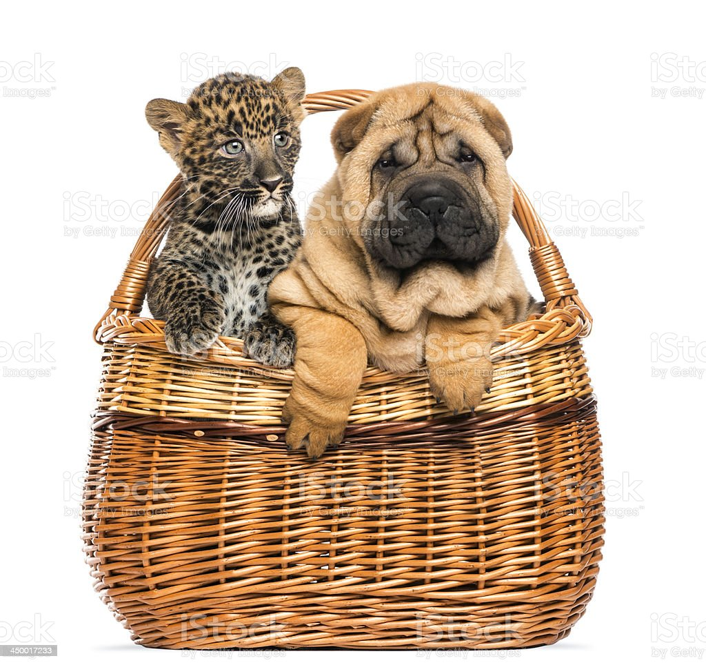 Sharpei puppy and spotted Leopard cub in a wicker basket royalty-free stock photo