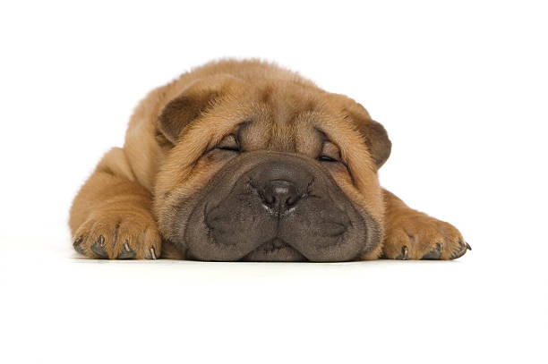 Shar-Pei Puppy Isolated on White Background stock photo