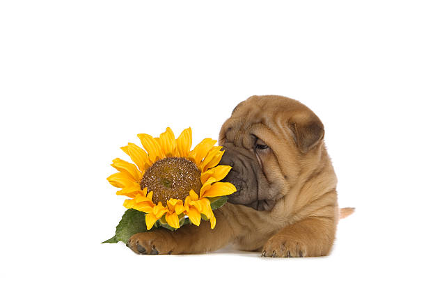 Shar-Pei Puppy isolated with flower on White Background stock photo