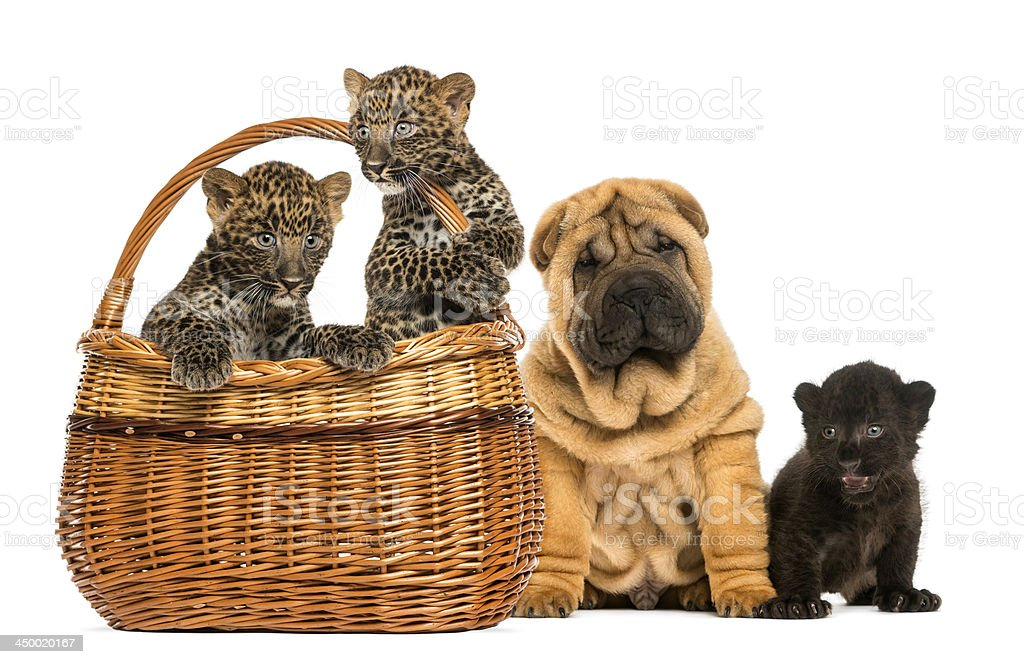Sharpei puppy with Leopards cubs in a basket royalty-free stock photo