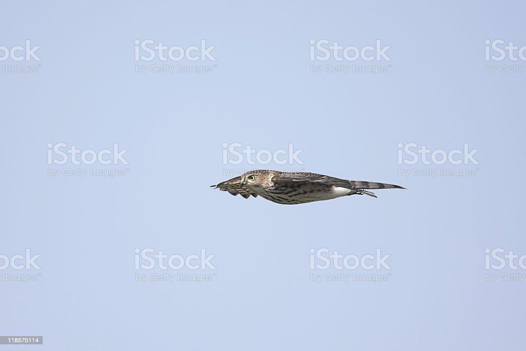 Sharp-shinned Hawk (Accipiter striatus) In Flight royalty-free stock photo