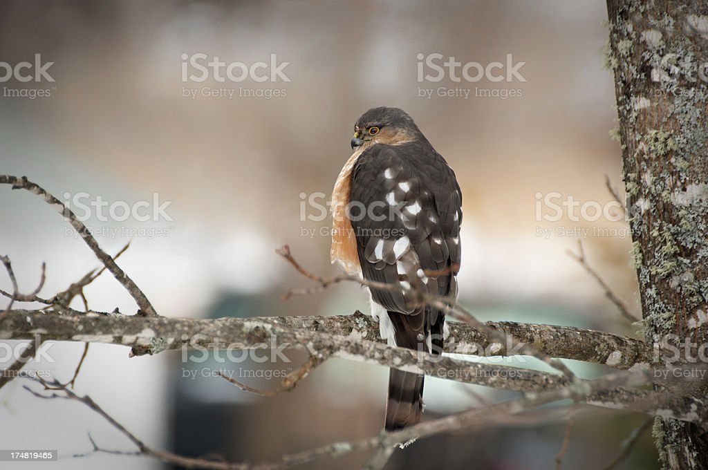 Sharp-Shinned Hawk royalty-free stock photo