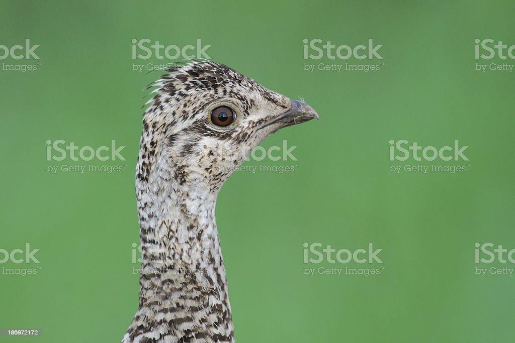 Sharp-tailed Grouse (Tympanuchus phasianellus) royalty-free stock photo