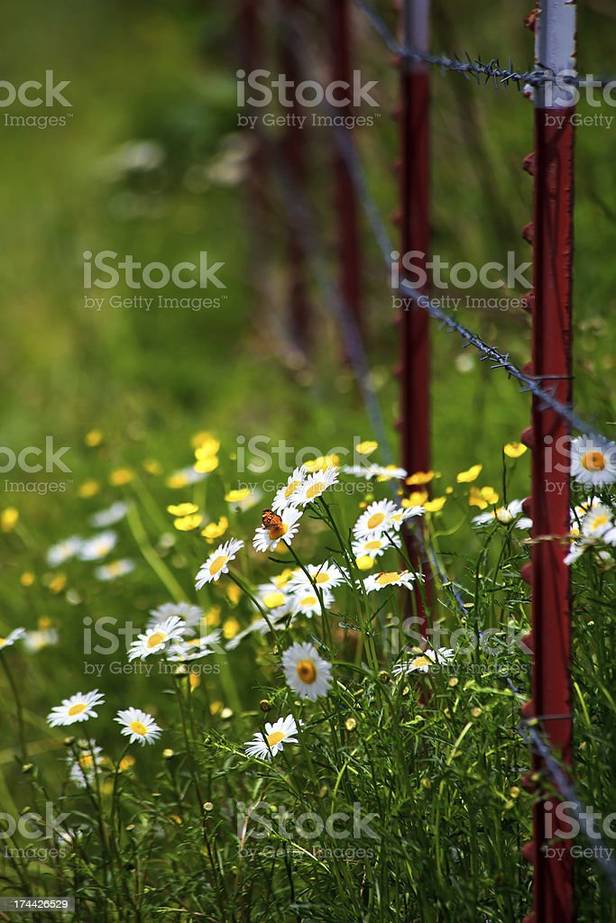 Shasta Daisies by a Fence royalty-free stock photo