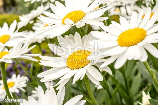 Close up of Shasta daisies in bloom.  Shasta daisies are a cultivated hybrid member of a large family of European wildflowers (Leucanthemum) with yellow centers and white petals, that tend to look like the typical coloring-book daisy. Many Leucanthemum-type daisies are invasive and will take over an area if allowed to. Shasta daisies are one the few daisies grown on purpose.