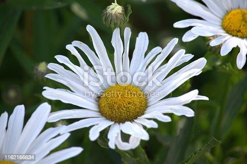 Image of a large Shasta daisy flower.