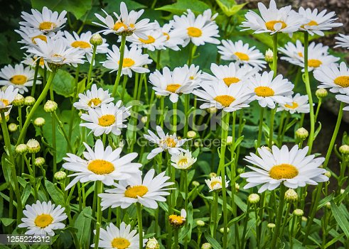 White shasta daisies grow at the edge of a Cape Cod meadow