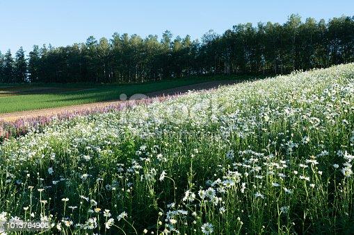 Shasta daisy flower meadow in Biei garden, Hokkaido, Japan