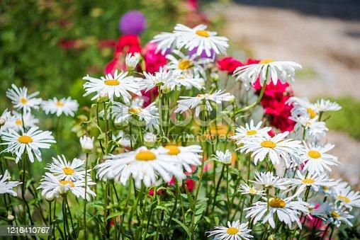 Shasta daisy  (Leucanthemum x superbum ) flowers in a summer garden in a sunny day