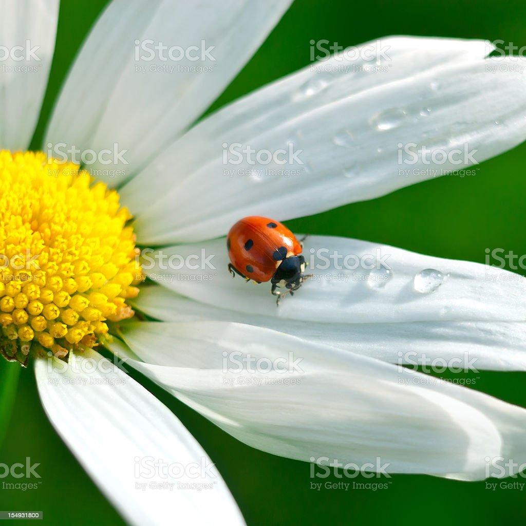Shasta daisy (Leucanthemum x superbum) with Ladybug - IV royalty-free stock photo