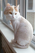 Shaved white beige cat on the windowsill. Sits with back.