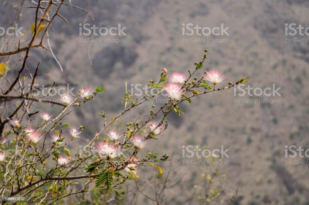 Shaving brush Combretum mossambicense by Zambesi river gorge stock photo