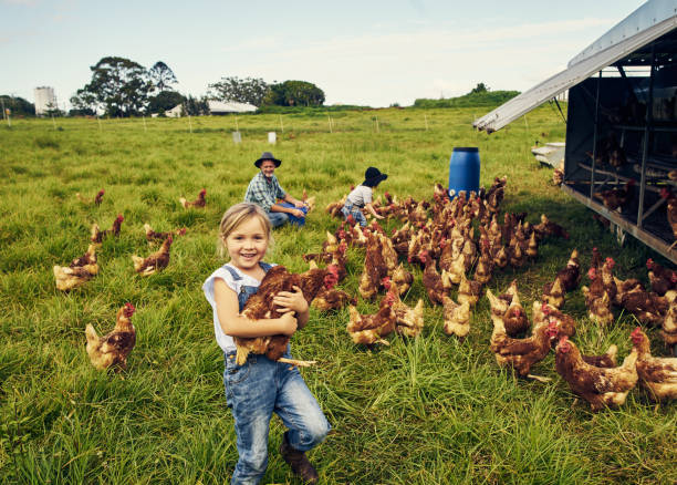 She loves caring for the chickens Shot of a little girl holding a chicken while with her family on a farm rural scene stock pictures, royalty-free photos & images