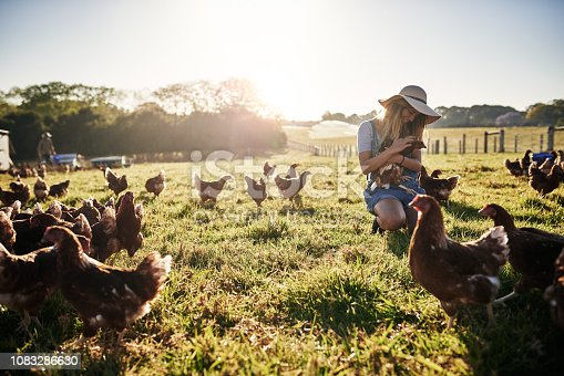 Full length shot of a female farmer tending to her flock of chickens on the farm