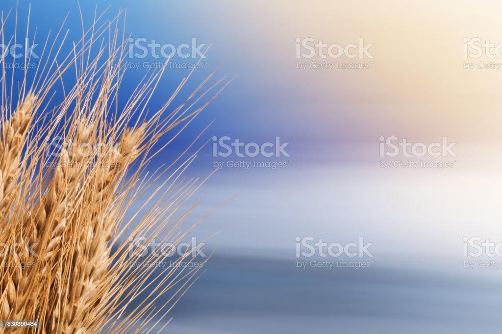 Sheaf Of Barley On The Blue Sky stock photo