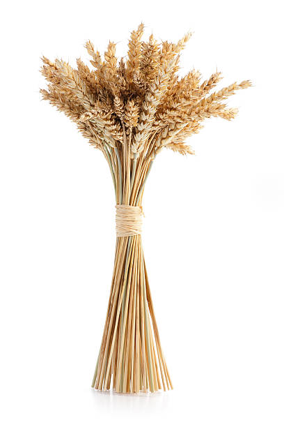 Sheaf of ripe wheat Sheaf of ripe wheat isolated on white background bundle stock pictures, royalty-free photos & images