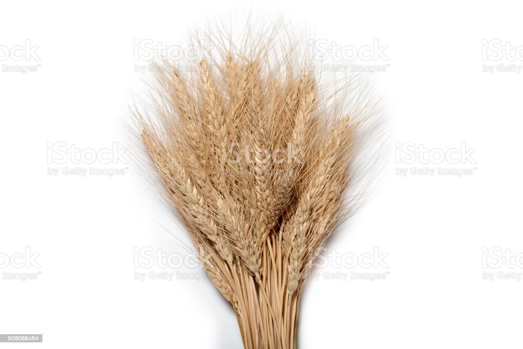 Sheaf of yellow wheat spikelets on the white background stock photo