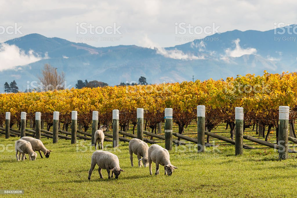 sheared sheep grazing in autumn vineyard stock photo