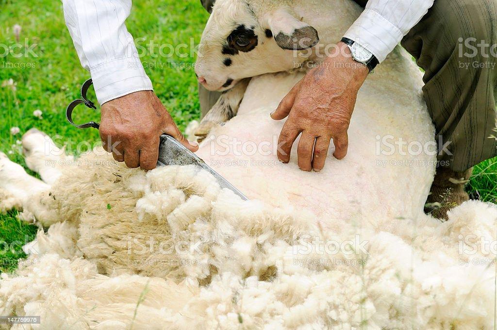 Shearing sheep royalty-free stock photo