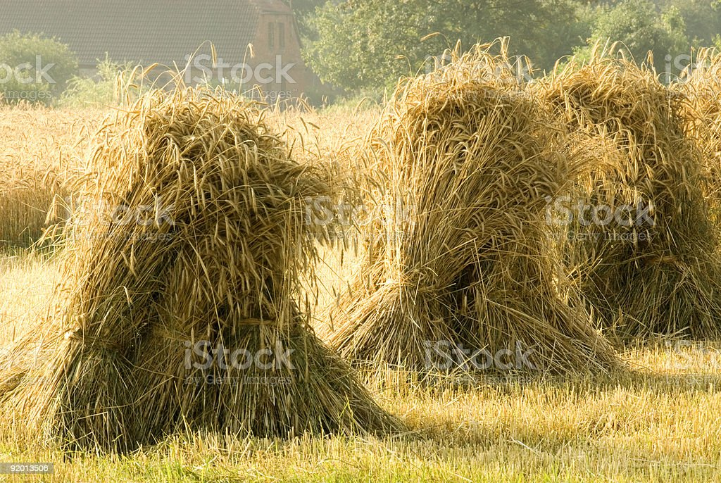 Sheaves of Rye royalty-free stock photo