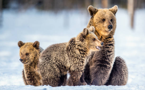 She-Bear and bear cubs on the snow. Brown bears  in the winter forest. stock photo
