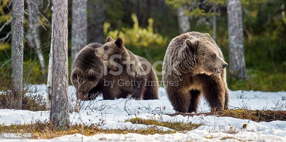 istock She-bear and bear cubs. 629035466