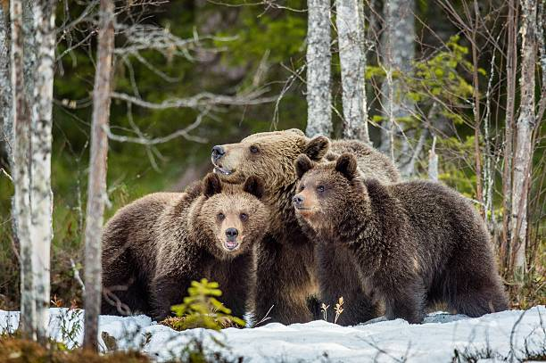 She-bear and bear cubs. She-bear and bear-cubs. Adult female of Brown Bear (Ursus arctos) with cubs on the snow in spring forest. taiga stock pictures, royalty-free photos & images