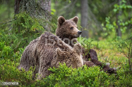 istock She-Bear and cub in the summer pine forest. 1204074319